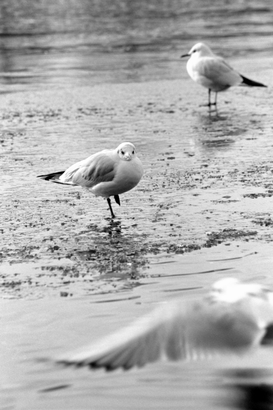Seagulls in Winter